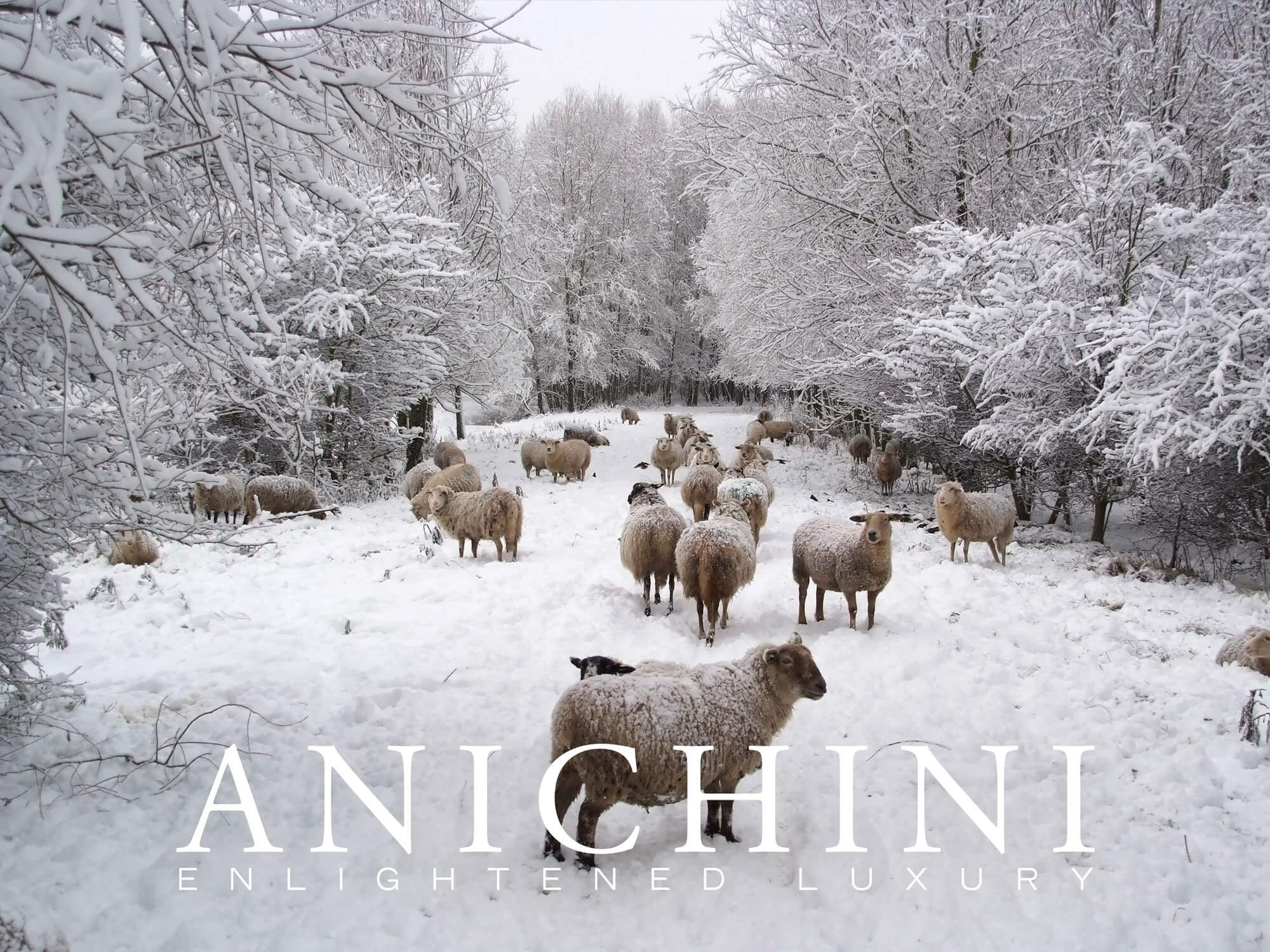Anichini Merino Sheep E-Gfit Card